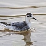 Grey Phalarope - Val Bentley