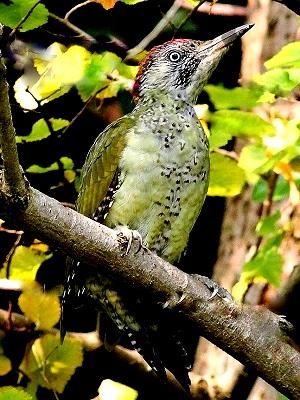 Juvenile Green Woodpecker - Paula Blake